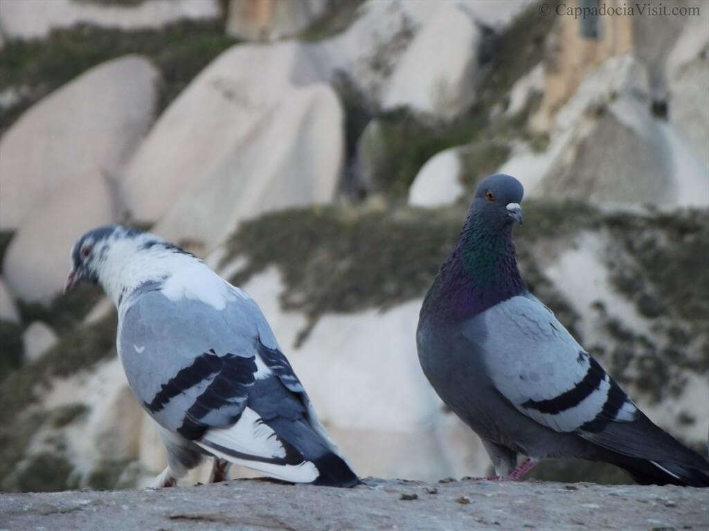 Местные обитатели Каппадокии - голуби