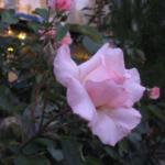 Розы в Гереме