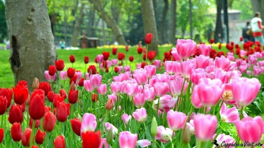 Тюльпаны парка Гюльхане