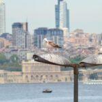 Чайки Стамбула отдыхают