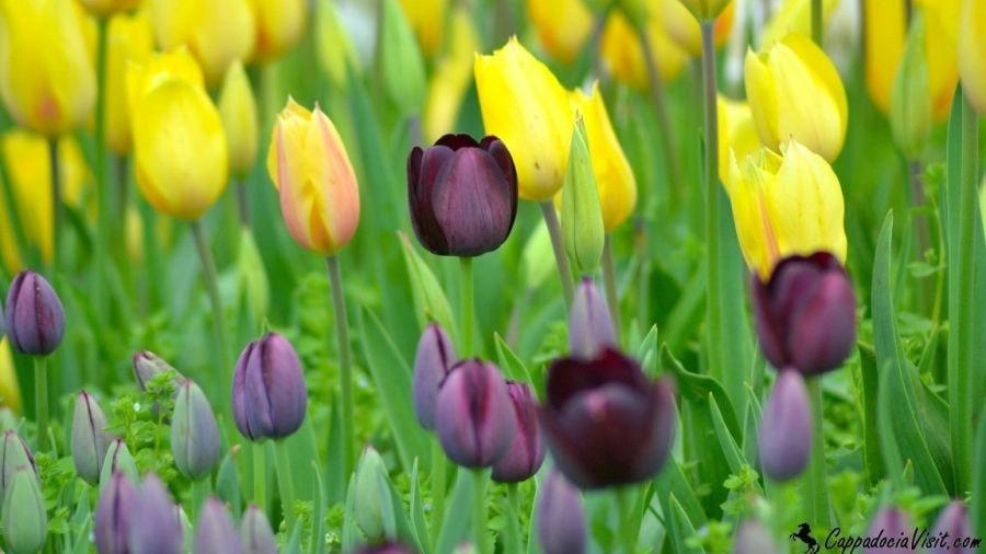 Стамбул в апреле расцветает тысячами цветов