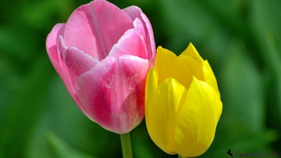 Два тюльпана - разные, как Европа и Азия