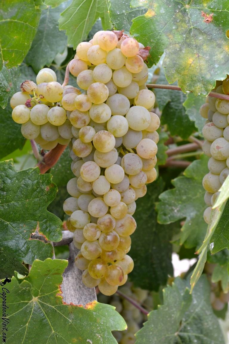 "Белый виноград Каппадокии ""Чавуш"""