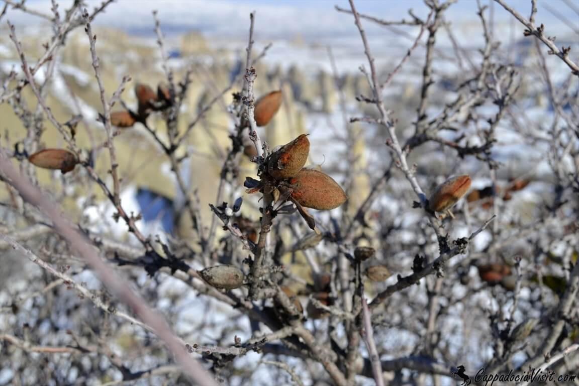 Плоды дикого миндаля зимой