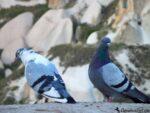 Голуби в Каппадокии