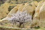 Абрикосовое дерево на фоне желтого туфа