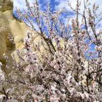 Кусочек неба и буйно цветущее абрикосовое дерево