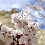 Абрикосовые цветы - Цветущее абрикосовое дерево