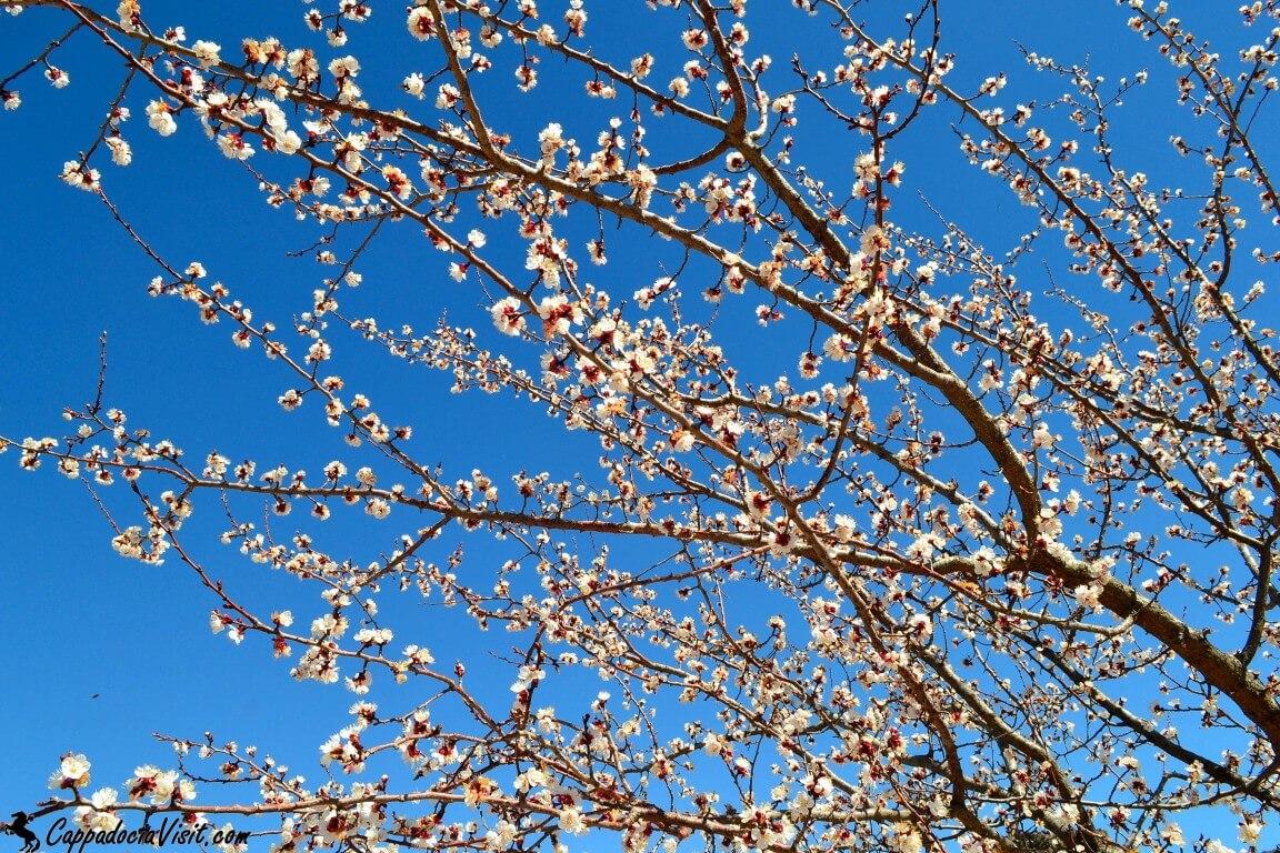 Ветви абрикоса