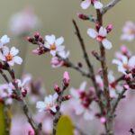 Цветы миндаля - Весенняя фотосессия в Каппадокии