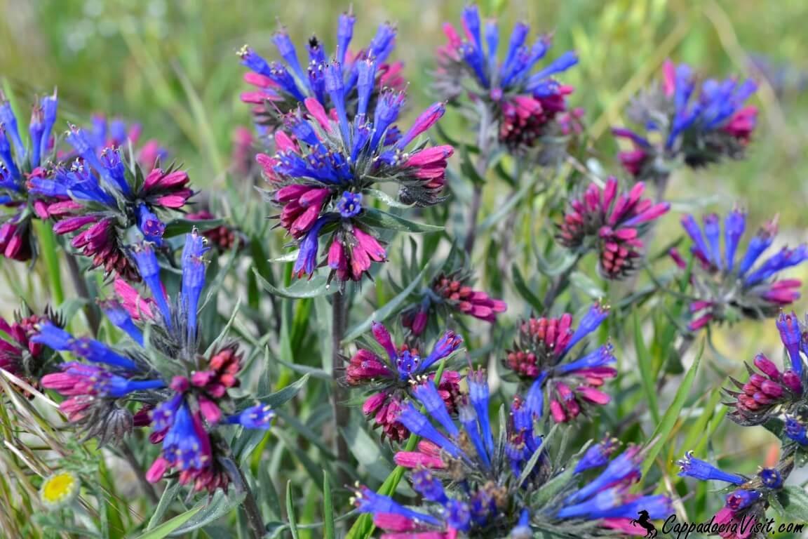 Цветы Каппадокии