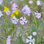 Весенние цветы Каппадокии