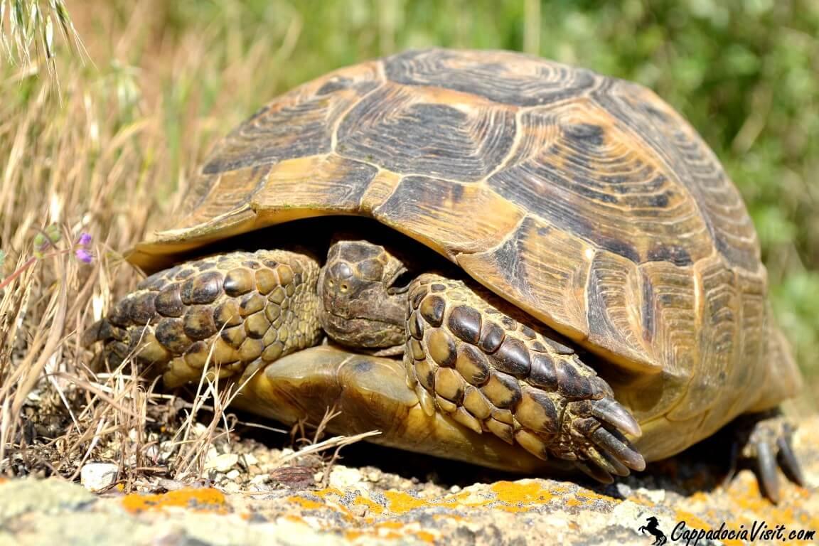 Испуганная черепаха