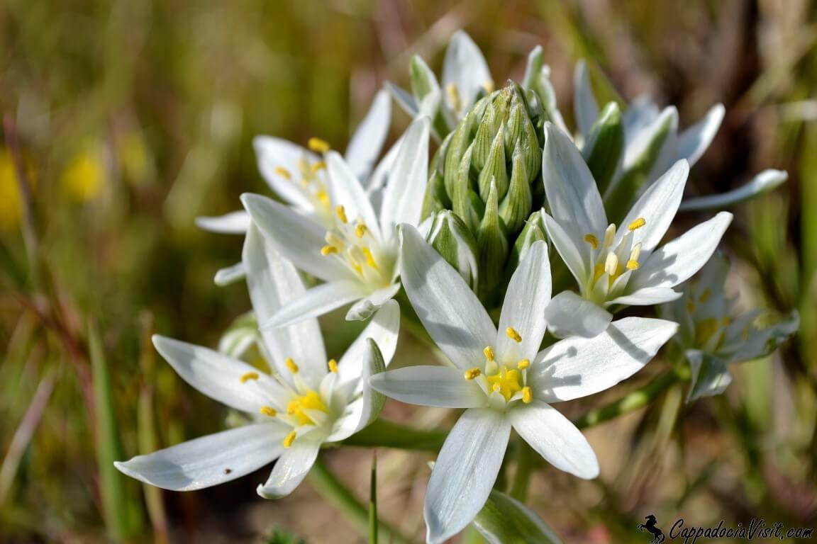 Цветы весны в Каппадокии
