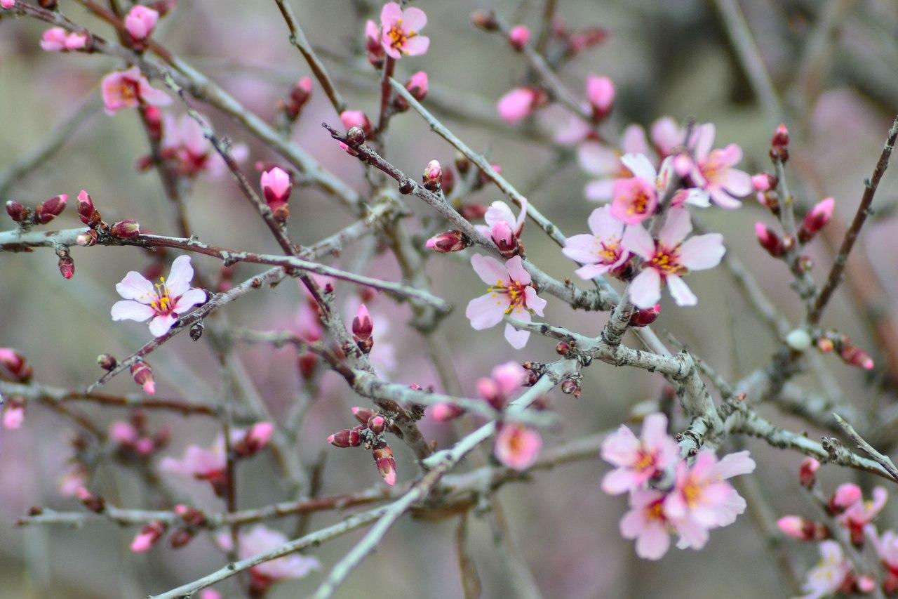 Цветущие ветки миндаля в Каппадокии