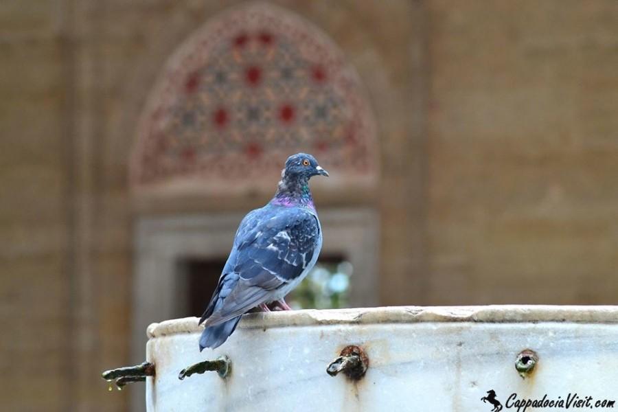 Голубь во дворе мечети Селимие - Эдирне