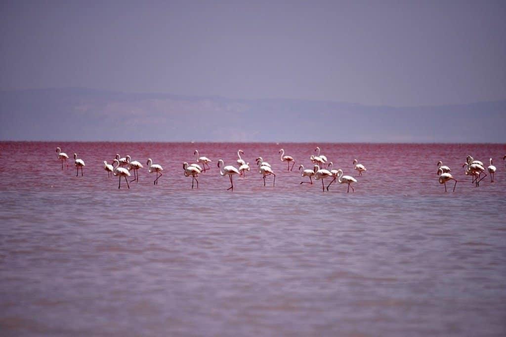 Розовые фламинго на озере Туз