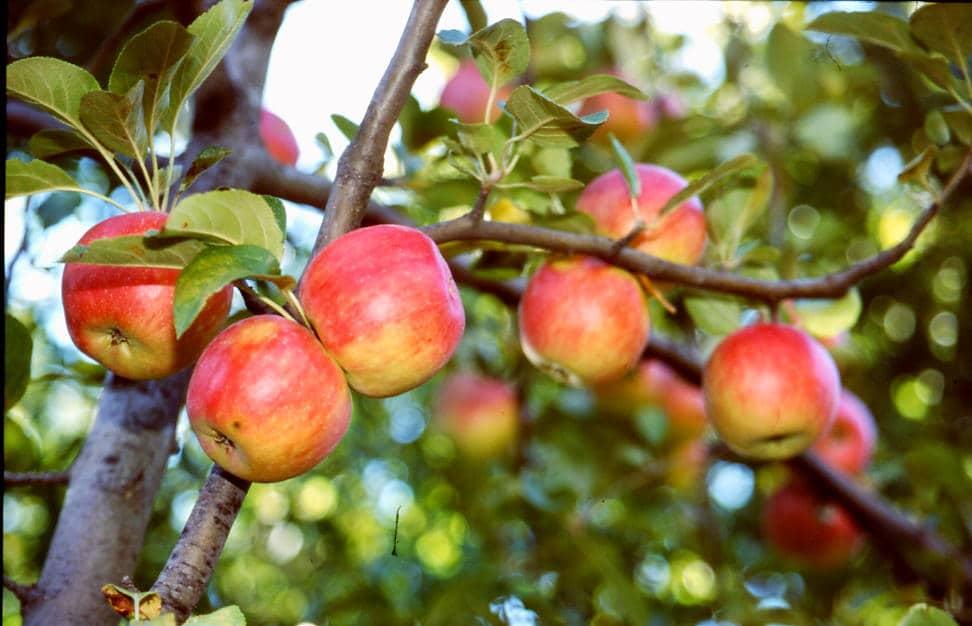 Амасья знаменита своими яблоками